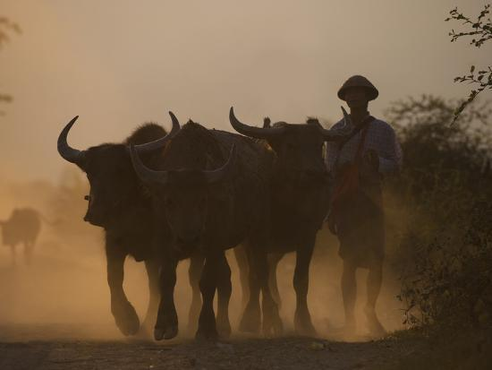 A Farmer Brings His Water Buffaloes Back from Working in the Fields-Alex Treadway-Photographic Print