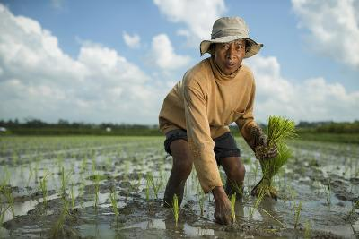 A Farmer Plants Rice in Bali-Jim Richardson-Photographic Print