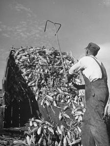 A Farmer Unloading a Truckful of Sweet Corn