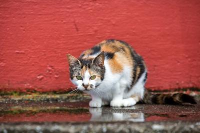 A Faroese Cat Sits Against a Red Wall-Karine Aigner-Photographic Print