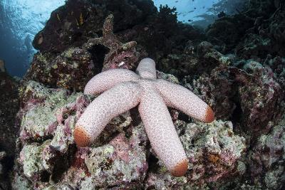 A Fat Starfish Clings to Rocks in the Solomon Islands-Stocktrek Images-Photographic Print
