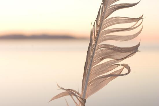 A Feather from a California Gull, Larus Californicus, Found on the Shoreline-Phil Schermeister-Photographic Print