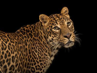 https://imgc.artprintimages.com/img/print/a-federally-endangered-african-leopard-panthera-pardus-pardus-at-the-houston-zoo_u-l-pncj0i0.jpg?p=0