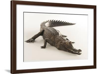 A Federally Endangered African Slender Snouted Crocodile, Mesistops Cataphractus-Joel Sartore-Framed Photographic Print
