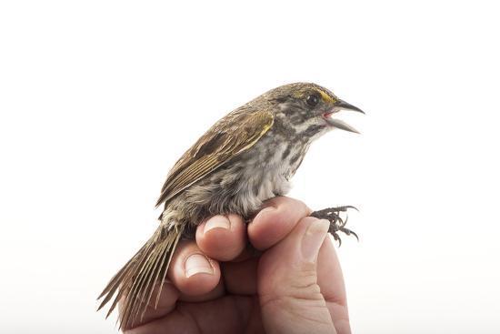 A Federally Endangered Cape Sable Seaside Sparrow, Ammodramus Maritimus Mirabilis-Joel Sartore-Photographic Print