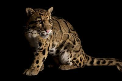 A Federally Endangered Clouded Leopard, Neofelis Nebulosa-Joel Sartore-Photographic Print