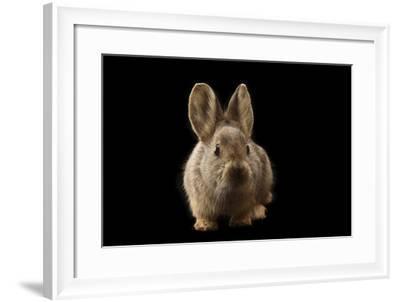 A Federally Endangered Female Pygmy Rabbit, Brachylagus Idahoensis-Joel Sartore-Framed Photographic Print