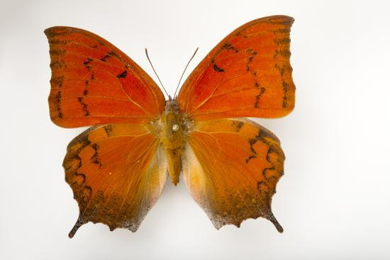 A Federally Endangered Florida Leafwing Butterfly Mounted on a Pin-Joel Sartore-Photographic Print