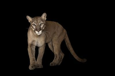 A Federally Endangered Florida Panther, Puma Concolor Coryi, at Tampa's Lowry Park Zoo-Joel Sartore-Photographic Print