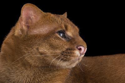 A Federally Endangered Jaguarundi, Puma Yagouaroundi, at Bear Creek Feline Center-Joel Sartore-Photographic Print