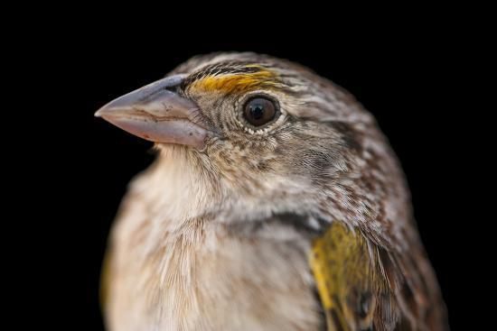 A Federally Endangered, Male Florida Grasshopper Sparrow, Ammodramus Savannarum Floridanus-Joel Sartore-Photographic Print