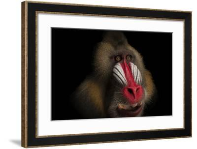A Federally Endangered Mandrill, Mandrillus Sphinx, at the Gladys Porter Zoo-Joel Sartore-Framed Photographic Print
