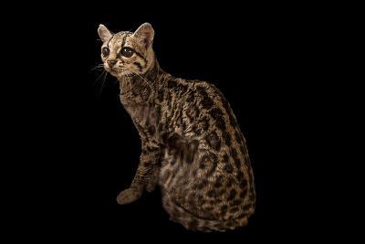 A Federally Endangered Margay, Leopardus Wiedii, at the Cincinnati Zoo-Joel Sartore-Photographic Print