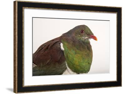 A Federally Endangered New Zealand Pigeon, Hemiphaga Novaeseelandiae.-Joel Sartore-Framed Photographic Print