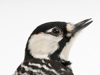 A Federally Endangered Red-Cockaded Woodpecker, Picoides Borealis-Joel Sartore-Photographic Print