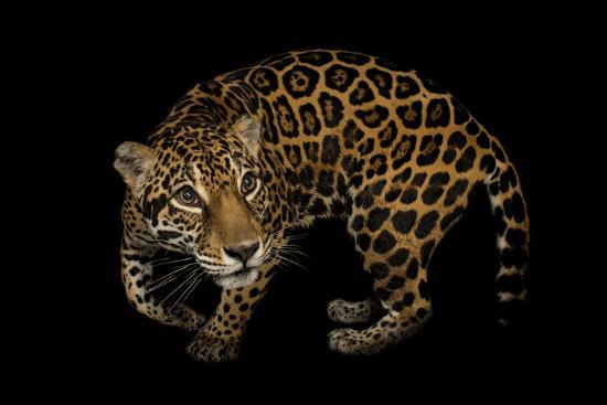 A Federally Endangered, Ten-Year-Old, Female Jaguar at the Dallas World Aquarium-Joel Sartore-Photographic Print