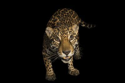 A Federally Endangered Ten-Year-Old Female Jaguar, Panthera Onca, at the Dallas World Aquarium-Joel Sartore-Photographic Print