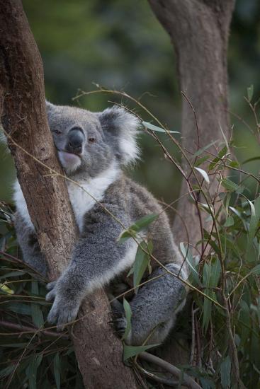 A Federally Threatened Koala at a Wildlife Sanctuary-Joel Sartore-Photographic Print