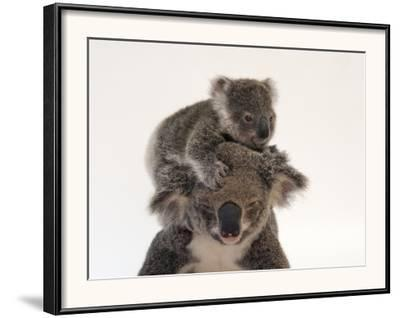 A Federally Threatened Koala Climbs on Top of its Mother, Who Has Conjunctivitis-Joel Sartore-Framed Photographic Print
