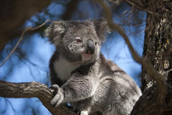 A Federally Threatened Koala Rests in a Tree-Joel Sartore-Photographic Print