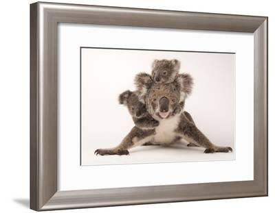 A Federally Threatened Koala with Her Offspring, One of Which Is Adopted-Joel Sartore-Framed Photographic Print