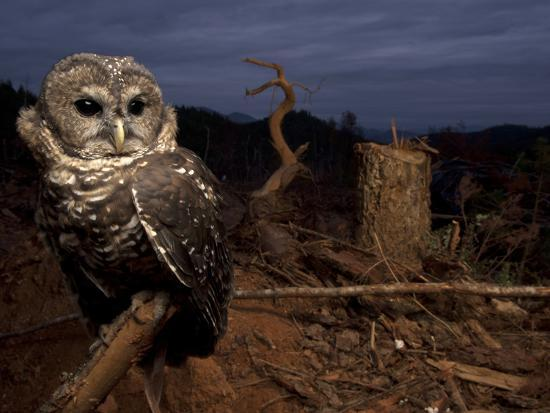 A Federally Threatened Northern Spotted Owl in a Fresh Clear Cut-Joel Sartore-Photographic Print