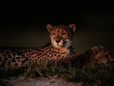 A Female African Cheetah and Her Cub Rest Together in the Early Evening-Chris Johns-Photographic Print