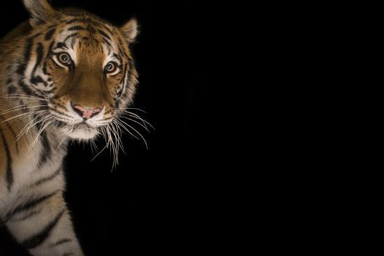 A Female Amur Tiger at the Cheyenne Mountain Zoo-Joel Sartore-Photographic Print