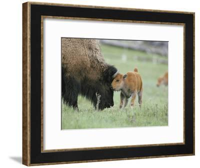 A Female Bison Stands Patiently as Her Young Calf Plays with Her Horns-Tom Murphy-Framed Photographic Print