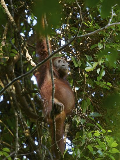 A Female Bornean Orangutan in the Rain Forest Canopy-Tim Laman-Photographic Print