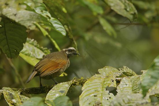 A Female Bronze Parotia Bird of Paradise in the Foja Mountains-Tim Laman-Photographic Print