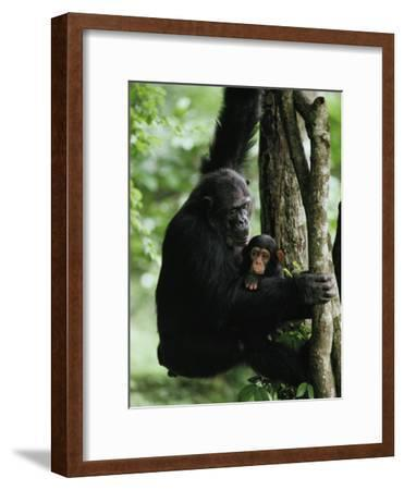 A Female Chimpanzee Climbs a Tree with Her Infant-Michael Nichols-Framed Photographic Print
