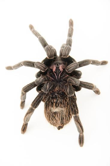 A female Colombian lesser black tarantula, Xenesthis immanis, at the Budapest Zoo.-Joel Sartore-Photographic Print