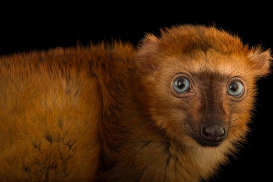 A Female, Critically Endangered Blue-Eyed Black Lemur, Eulemur Flavifrons, at the Duke Lemur Center-Joel Sartore-Photographic Print