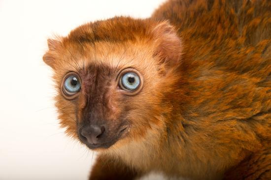 A Female, Critically Endangered Blue-Eyed Black Lemur, Eulemur Flavifrons, at the Duke Lemur Center-Joel Sartore-Photographic Print
