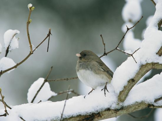 A Female Dark-Eyed Junco on a Snow-Covered Branch-Tim Laman-Photographic Print