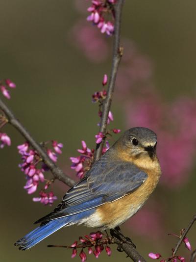 A Female Eastern Bluebird (Sialia Sialis), Eastern USA-Steve Maslowski-Photographic Print