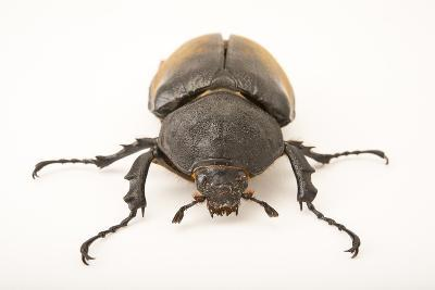 A Female Elephant Beetle, Megasoma Elephas Elephas, at the Houston Zoo.-Joel Sartore-Photographic Print