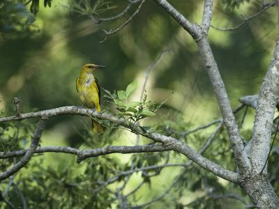 A Female Golden Oriole Perches on a Tree Branch-Klaus Nigge-Photographic Print