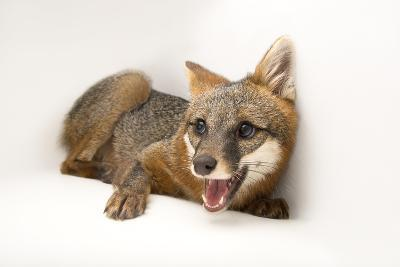 A Female Gray Fox, Urocyon Cinereoargenteus, at the St. Francis Wildlife Association-Joel Sartore-Photographic Print