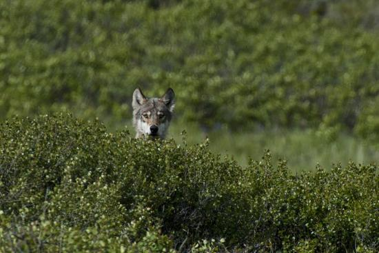A Female Gray Wolf, Canis Lupus, Peering over a Shrub Near Her Den-Peter Mather-Photographic Print