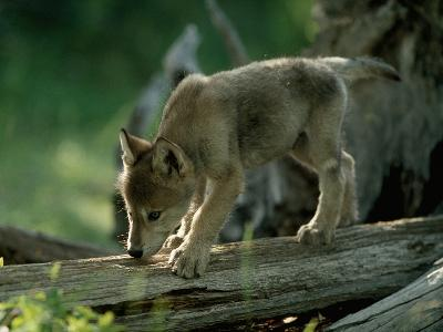 A Female Gray Wolf Pup Explores Log-Jim And Jamie Dutcher-Photographic Print