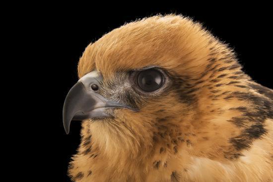 A female Hawaiian hawk, Buteo solitarius-Joel Sartore-Photographic Print
