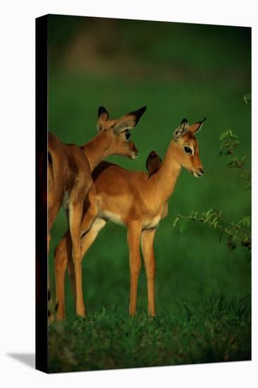A Female Impala and Her Youngster with an Oxpecker Bird on its Back-Beverly Joubert-Stretched Canvas Print