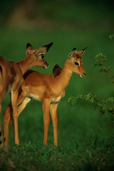 A Female Impala and Her Youngster with an Oxpecker Bird on its Back-Beverly Joubert-Premium Photographic Print