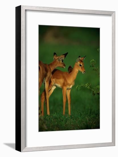 A Female Impala and Her Youngster with an Oxpecker Bird on its Back-Beverly Joubert-Framed Photographic Print