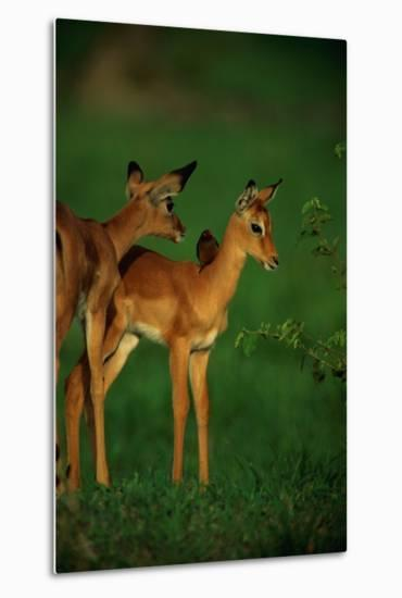 A Female Impala and Her Youngster with an Oxpecker Bird on its Back-Beverly Joubert-Metal Print