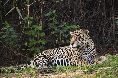https://imgc.artprintimages.com/img/print/a-female-jaguar-on-the-bank-of-a-tributary-of-the-cuiaba-river_u-l-q1bv7ox0.jpg?p=0
