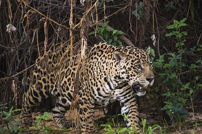 https://imgc.artprintimages.com/img/print/a-female-jaguar-on-the-bank-of-a-tributary-of-the-cuiaba-river_u-l-q1bv7xy0.jpg?p=0