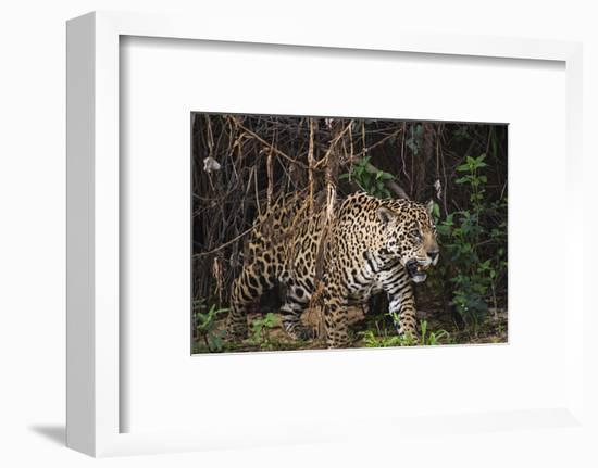 A Female Jaguar on the Bank of a Tributary of the Cuiaba River-Max Lowe-Framed Photographic Print